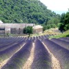 Lavender field, Gordes, France. Provence Walking Tour.